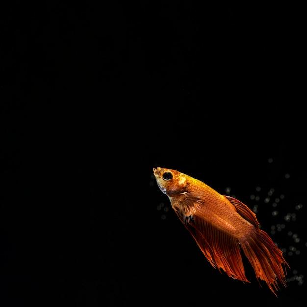 Peixe betta dourado