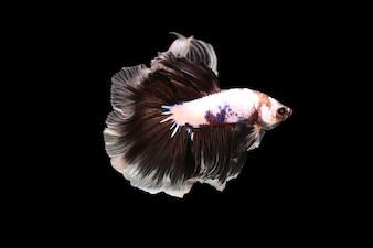 Peixe Betta em fundo preto