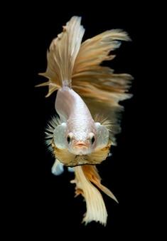 Peixe betta em meia lua, em ouro prateado.