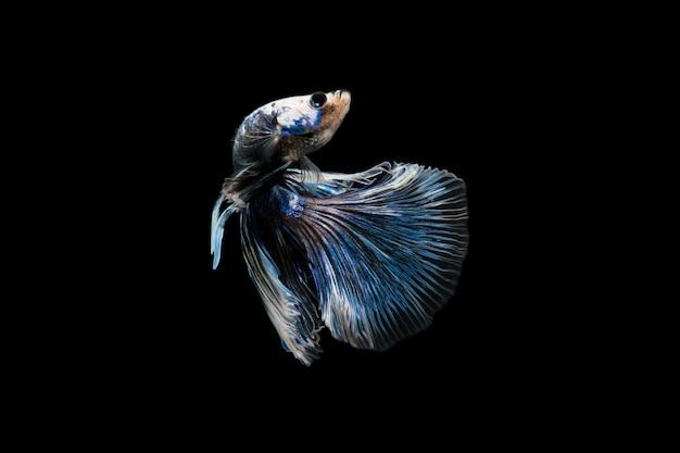 Peixe betta em preto