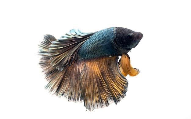 Peixe betta meia-lua, peixe lutador siamês, betta splendens