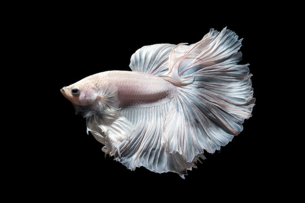 Peixe betta ou peixe-lutador-siamês em movimento isolado no fundo preto.