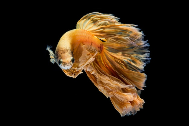 Peixe betta ouro amarelo, peixe-lutador-siamês em fundo preto