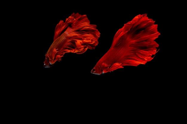 Peixe betta. peixe de combate. peixe betta dragão vermelho de meio-tom isolado.