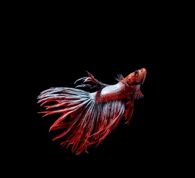 Peixe betta, peixe-lutador-siamês, betta splendens isolado em fundo preto