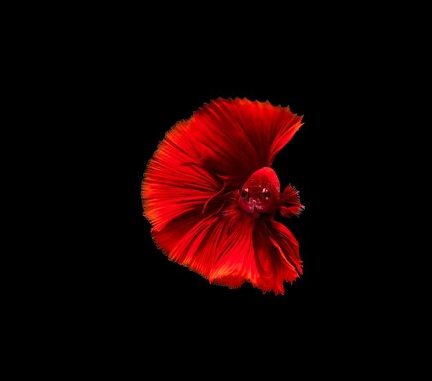 Peixe betta, peixe lutador siamês, betta splendens isolado