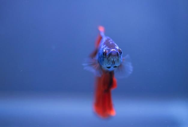 Peixe betta, peixe-lutador-siamês isolado em azul