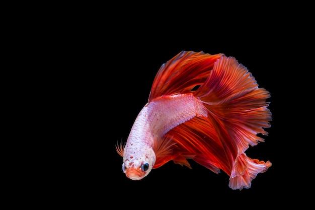 Peixe betta rosa e vermelho, peixe-lutador-siamês