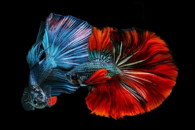 Peixe betta vermelho e azul lutando siamês em um fundo preto.