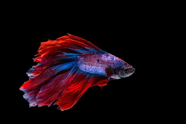 Peixe betta vermelho e azul, peixe-lutador-siamês em fundo preto