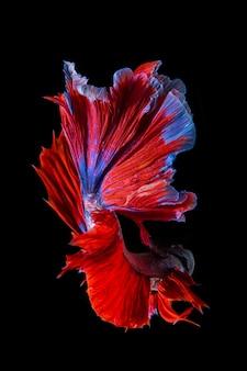 Peixe betta vermelho e azul, peixe-lutador-siamês