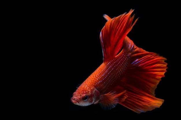 Peixe betta vermelho, peixe-lutador-siamês em fundo preto peixe betta vermelho, peixe-lutador-siamês em fundo preto