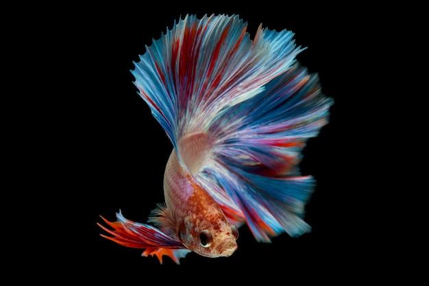 Peixe betta