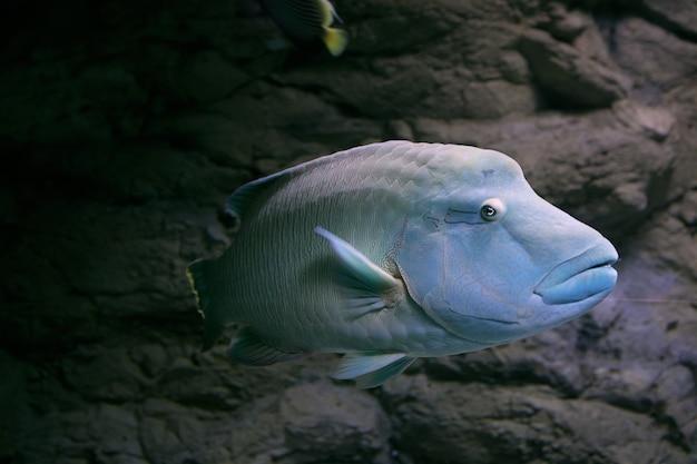 Peixe bodião maori humphead no oceanário de são petersburgo, rússia