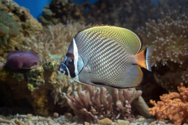 Peixe-borboleta de cauda vermelha flutuando na água, vida marinha em um recife de coral raso