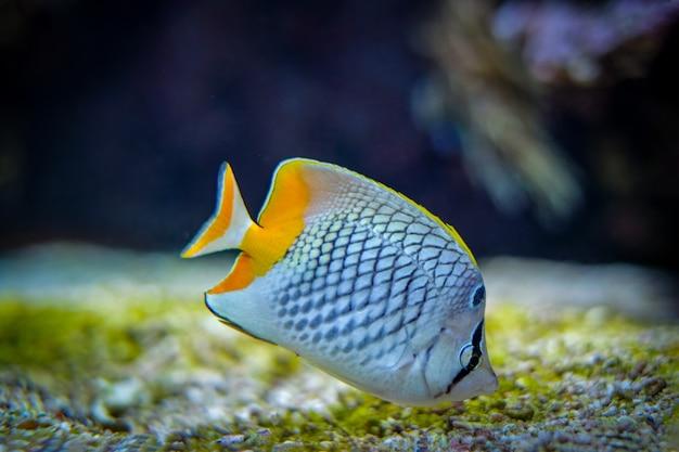 Peixe-borboleta em forma de pérola chaetodon xanthurus peixes subaquáticos no mar