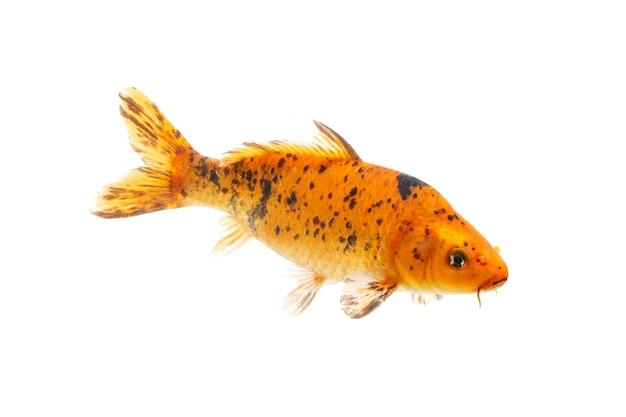 Peixe carpa koi em fundo branco