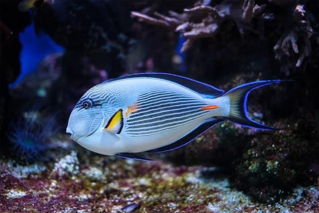 Peixe cirurgião sohal subaquático