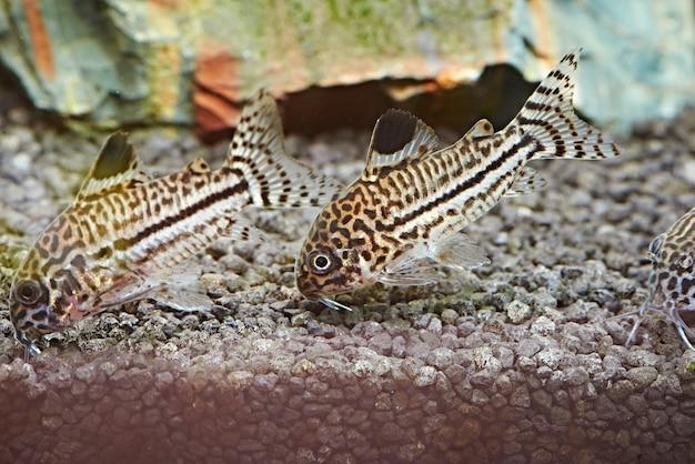 Peixe. corydoras julii em aquário