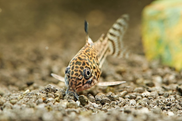 Peixe. corydoras julii no aquário. corydoras trilineatus