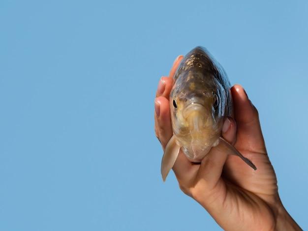 Peixe cru de close-up com brânquias na mão