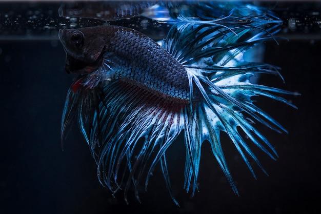 Peixe de combate (betta splendens) peixe com uma bela
