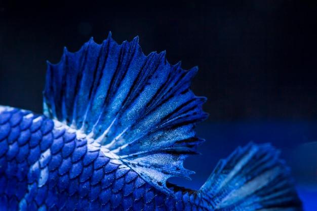 Peixe de combate (betta splendens)