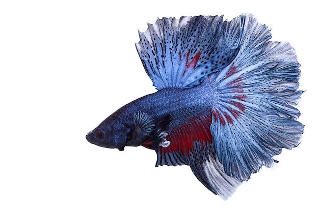 Peixe de combate isolado