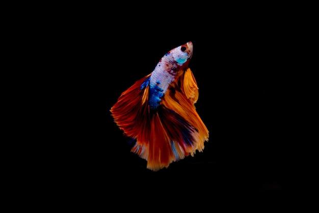 Peixe de combate multi cor