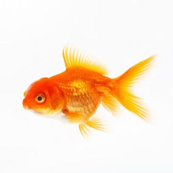 Peixe decorativo ouro sobre uma superfície branca