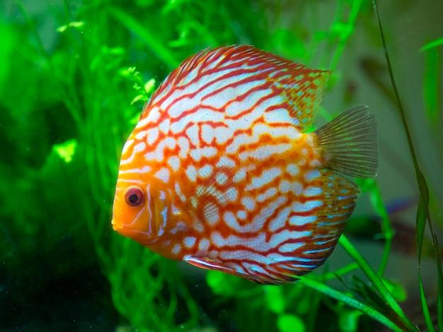 Peixe discus vermelho