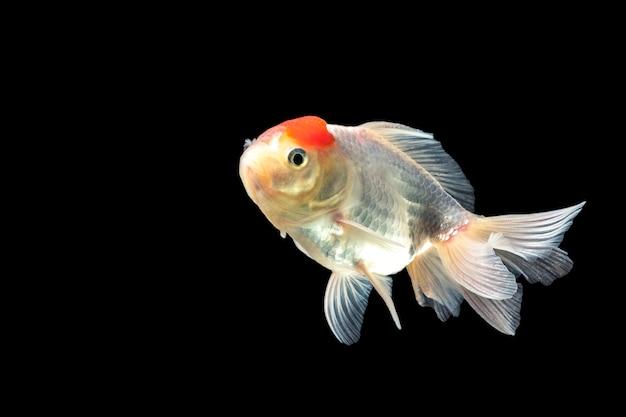 Peixe dourado, água-viva vermelha nadando alegremente.