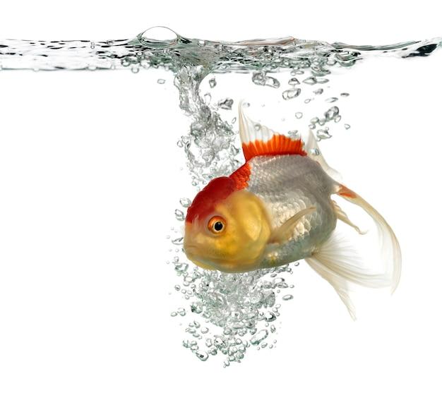 Peixe dourado com cabeça de leão nadando isolado no branco