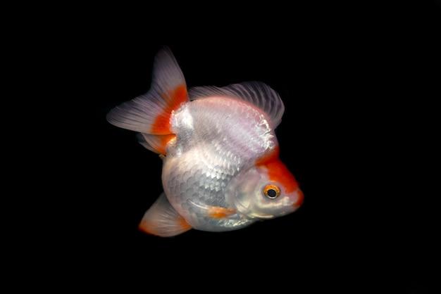 Peixe dourado de ryukin em fundo preto