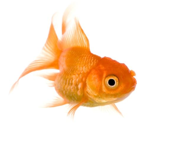 Peixe dourado em branco