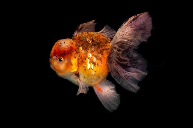 Peixe dourado em fundo preto