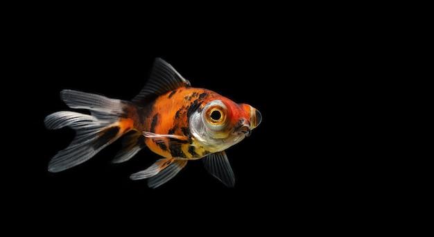Peixe dourado em um preto