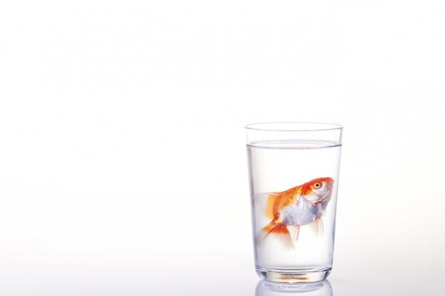 Peixe dourado flutuando na água de vidro em branco