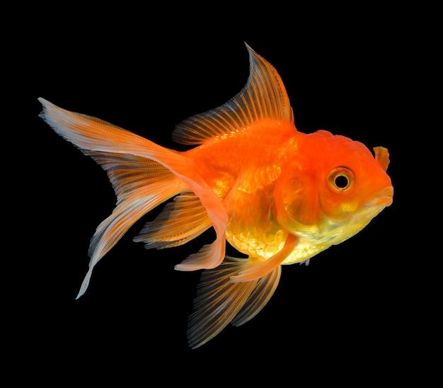 Peixe dourado isolado em preto
