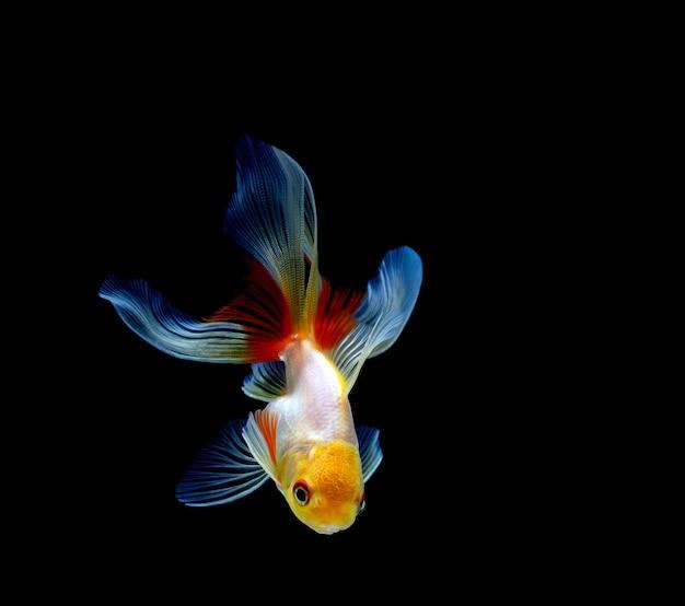 Peixe dourado isolado em um preto escuro