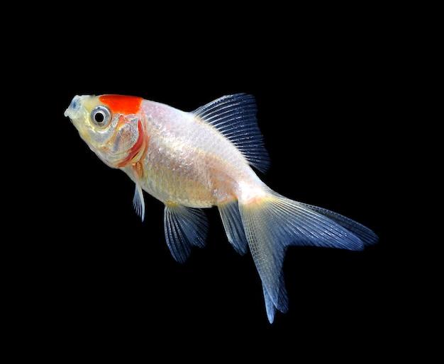 Peixe dourado isolado no preto