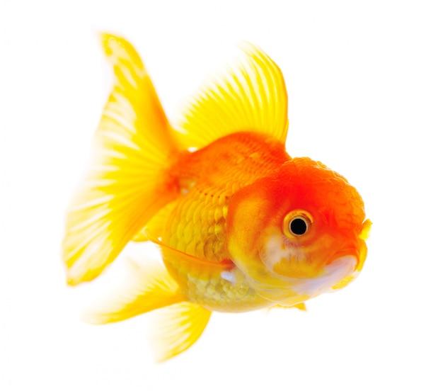 Peixe dourado. isolamento em branco