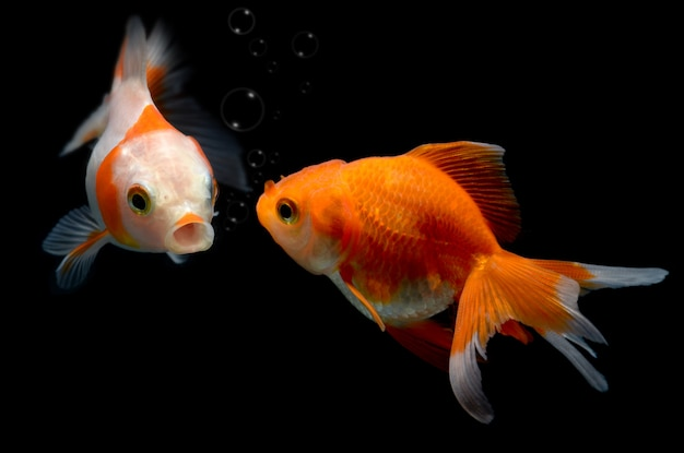 Peixe dourado jovem no aquário.