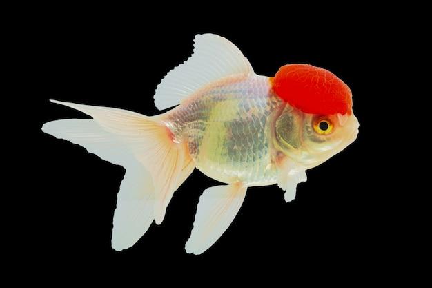Peixe dourado lionhead ou peixe dourado ranchu, cabeça vermelha, corpo branco