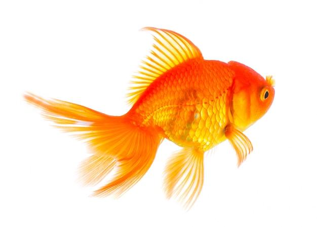 Peixe dourado na parede branca