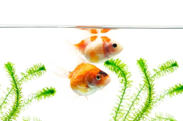 Peixe dourado nadando em fundo branco