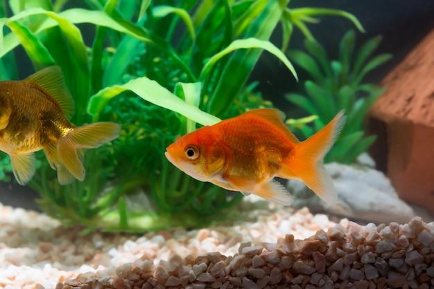 Peixe dourado ou peixinho dourado flutuando debaixo d'água em um tanque de aquário fresco