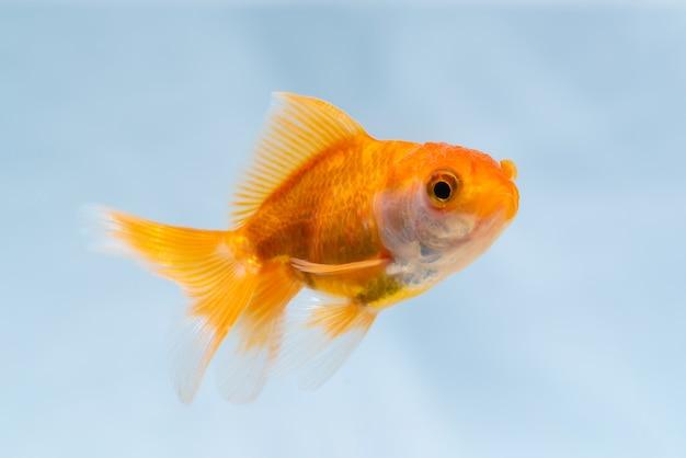 Peixe dourado ou peixinho dourado flutuando debaixo d'água no tanque do aquário fresco, vida marinha.