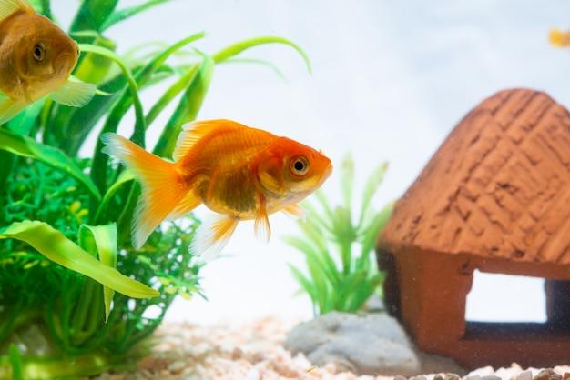 Peixe dourado ou peixinho flutuando nadando debaixo d'água