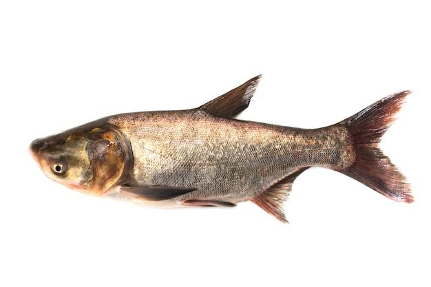 Peixe fresco em fundo branco